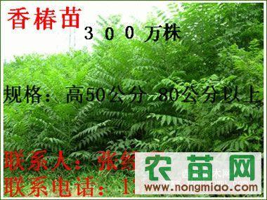 2012香椿苗 大棚专用香椿苗 香椿苗基地  1-2米香椿苗