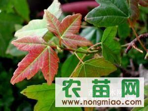 三角枫,红叶李/桂花等