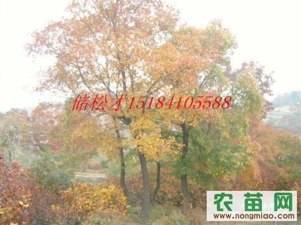 辽宁五角枫