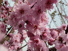 供应美人梅、梅花、杏梅5-8cm