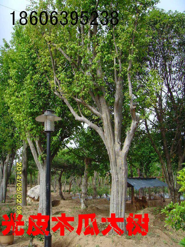 大木瓜树,小木瓜树,木瓜树苗