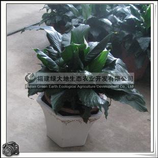 螺纹铁 热带常绿灌木 室内观叶植物 小盆栽 绿化苗木 大量批发