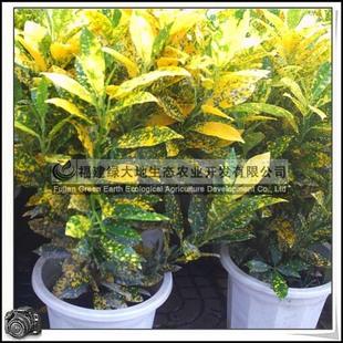 园林绿化苗木、常绿灌木、小盆栽、观叶植物【洒金变叶木】