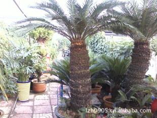 铁海棠 虎刺梅 绿化苗木 盆栽观赏 公共场所摆设苗木 大量批发