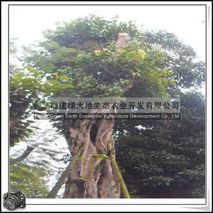 福建绿大地供应|乔木菩提树胸径150-160公分