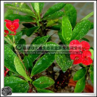 虎刺梅|四季开花|室内植物|盆栽观赏|优质苗木