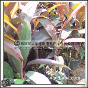 福建绿大地供应|观叶植物百合科亮叶朱蕉园林绿化苗木