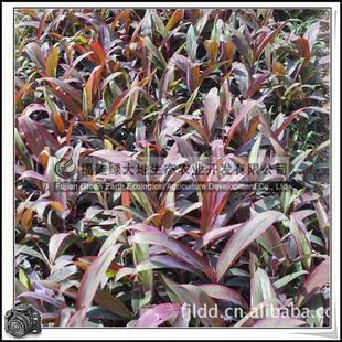 福建绿大地供应|观叶植物百合科亮叶朱蕉