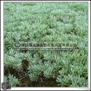 福建绿大地供应|绿化苗木半灌木芙蓉菊地被
