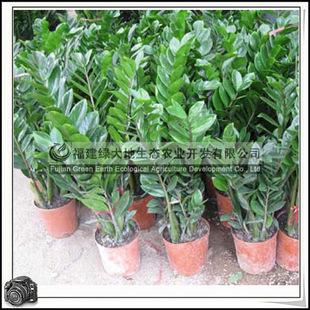 福建绿大地供应 观叶植物天南星科金钱树室内观叶植物