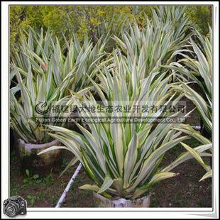 福建绿大地供应|绿化苗木灌木黄纹万年麻龙舌兰科灌丛