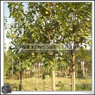 福建绿大地供应|菩提树移植苗菩提榕落叶苗木