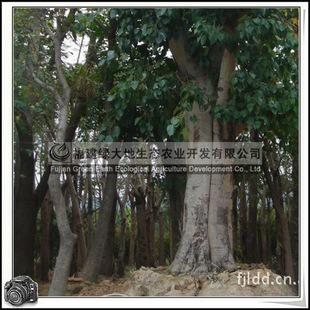 福建绿大地供应|菩提树FicusreligiosaLinn无花果