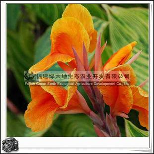福建绿大地供应 绿化苗木花卉金脉美人蕉观叶观花