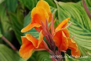 园林绿化苗木【金脉美人蕉】观花植物观叶植物净化空气