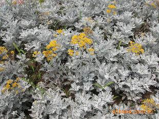园林绿化苗木、常绿灌木、室内观叶植物【洒金变叶木】