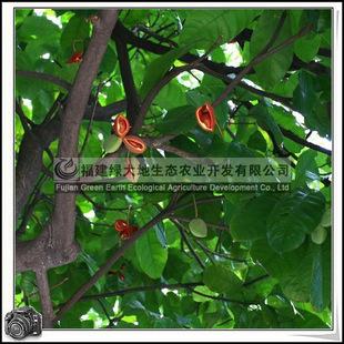 福建绿大地供应|梧桐科苹婆庭荫树