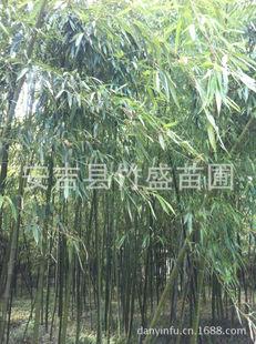 安吉县竹盛苗圃供应乌哺鸡竹另有斑竹紫竹龟甲竹等近百种观赏竹