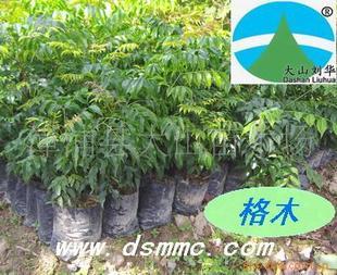 供应格木(赤叶木、铁木、东京木红木类树种)