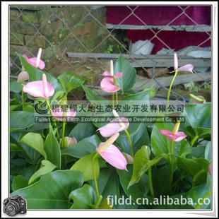 办公绿化植物盆栽花卉红掌粉色