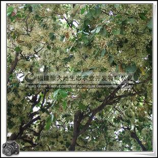 凤眼果苹婆绿化苗木