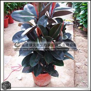 绿化苗木乔木橡皮树室内盆栽装饰