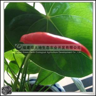 Anthuriumandraeanum红掌园林绿化苗木
