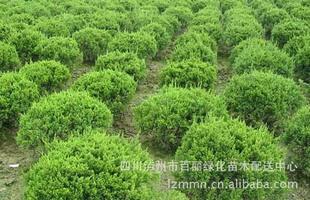大量供应黄桷兰(白兰花)6-8公分(图)