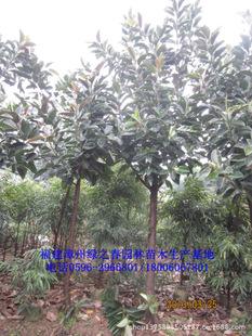 绿化苗木乔木印度橡胶榕橡皮树胸径5-8公分福建漳州橡皮榕倾销