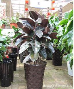 室内(租凭)--乔木--橡皮树--室内盆栽装饰