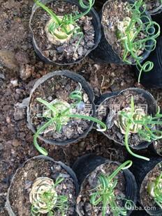 产地批发百合科多肉植物细叶弹簧草弹簧草种球稀有品种