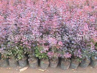 批发【紫叶小檗】营养杯紫叶小檗/绿篱专用/陕西周至园林绿化苗木
