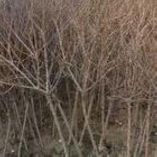 山杏树3公分山杏树