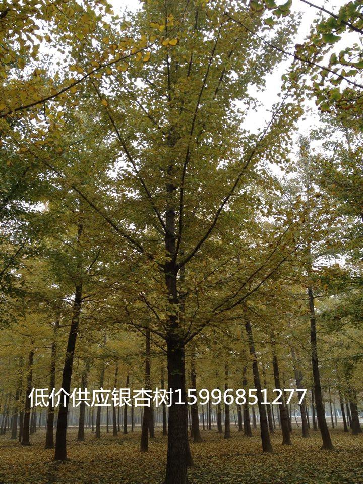 苗圃到期低价处理银杏树