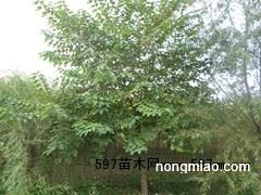杏树-大量出售杏树苗10万株-13833228157