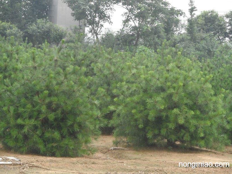 白皮松20-300厘米