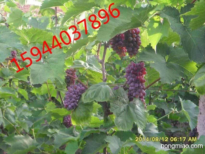 吉林出售无核寒香蜜葡萄苗、长春德惠四平葡萄苗价格低