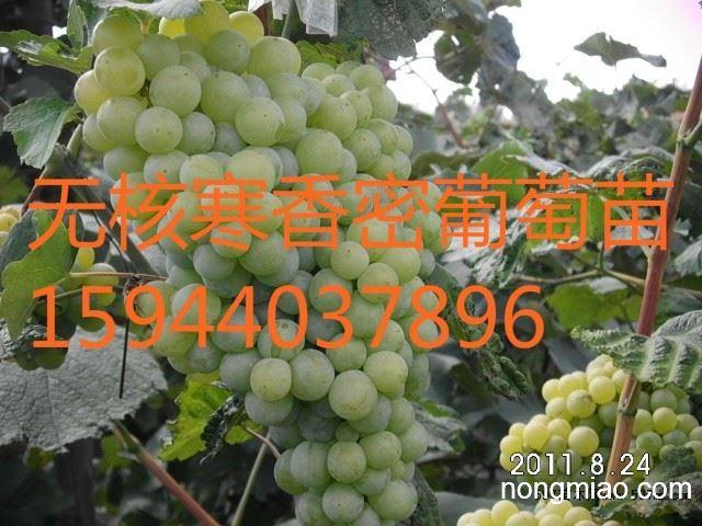 长春大棚茉莉香葡萄苗、松原蜜汁葡萄苗批发、辽源巨峰葡萄苗基地
