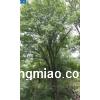 茶条槭10-40公分