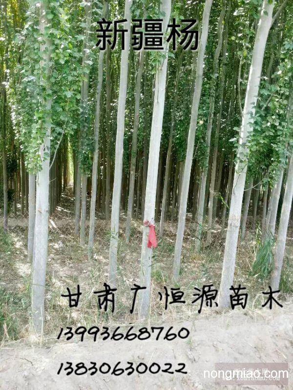 供应胸径4.5新疆杨