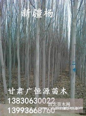 新疆杨苗圃供应各种规格新疆杨