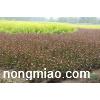园林绿化苗木-紫叶锦带,紫叶锦带苗,苏北紫叶锦带