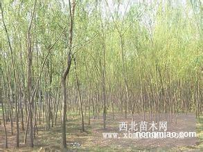 内蒙地区供应1-9公分垂柳