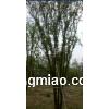 陕西西安 300多颗精品茶条槭 批量大卖