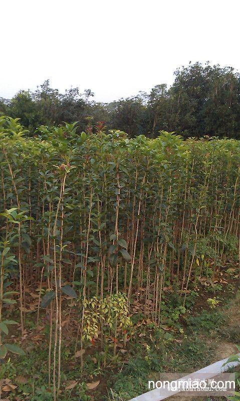 大量供应广西桂林优质桂花苗