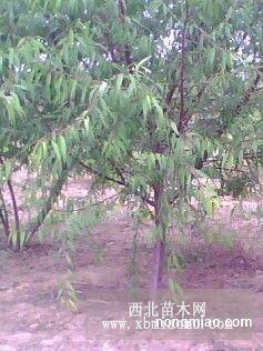 杏树、山桃、垂柳