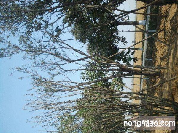精品丛生茶条槭专营基地,长期大量供应生熟货
