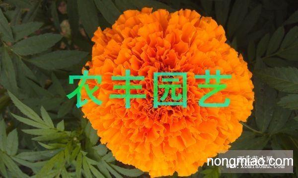 供应色素万寿菊等花卉种子