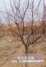 河北省张家口山杏树