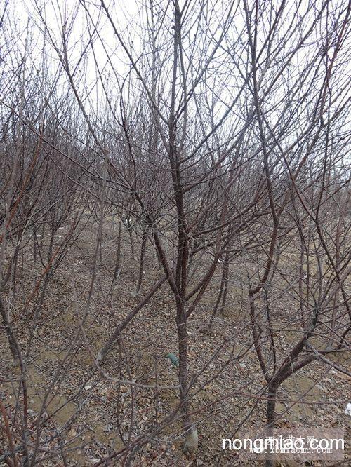 河北榆叶梅  河北榆叶梅价格  哪里卖榆叶梅―保定花灌木基地